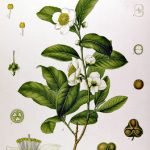 Tea Gardens – a not so romantic story